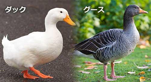 duckgoose